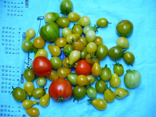 tomatoes - trust in kim